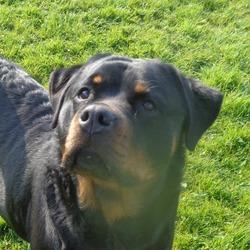 Rottweiler Welfare Association | Rescue Charity | Staffordshire
